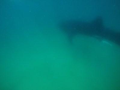 Ich war so fasziniert, dass ich es erst geschafft habe, ein Foto zu machen, als der Walhai schon weitergeschwommen war...