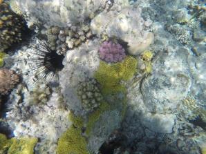 Pink die respberry coral, in gelb eine encrusting coral