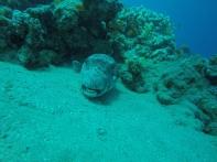 Riesen-Kugelfisch