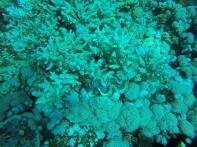 Feather corals unten im Bild, dann Giant Clam, darüber Acropora