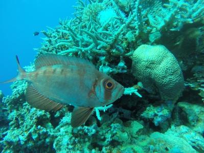der Vali-Fisch