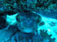 Porcupinefish von vorne...