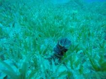 Anemone mit Mini-Shrimp daneben